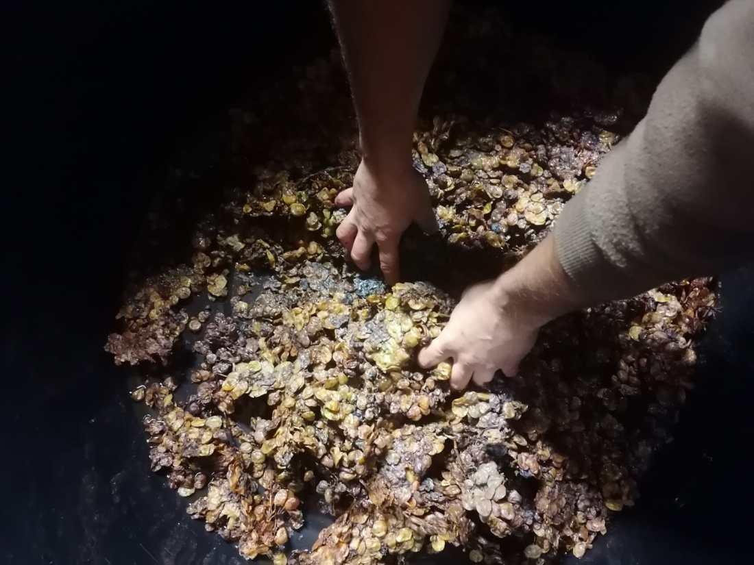 Lavorazione manuale del Vin Santo di Vigoleno a Cantina Visconti