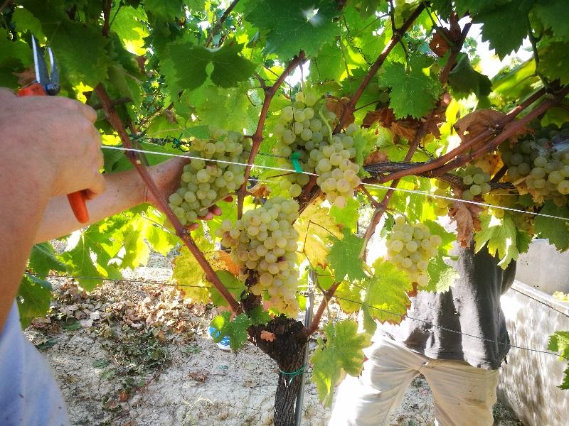 Vendemmia manuale di uva bianca a Cantina Visconti