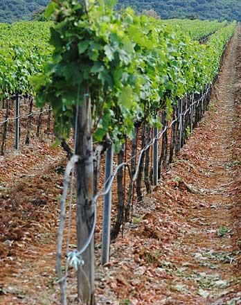 Cantine Cifarelli - vigne