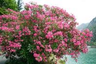 O/4/172 Nerium oleander
