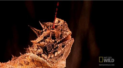 Lagarto de chifres usa o sangue como defesa – Foto Reprodução do vídeo de Nat Geo Wild (veja no final do post)