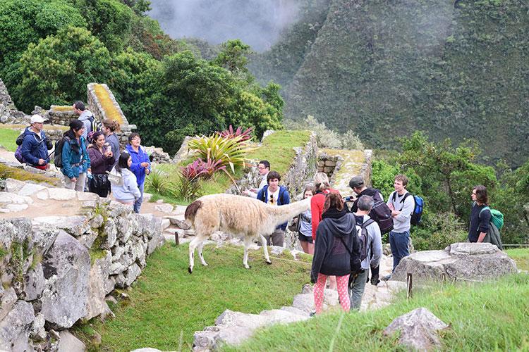Lhamas em Machu Picchu