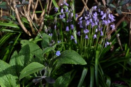 Green Alkanet infront of Bluebells over six weeks early!
