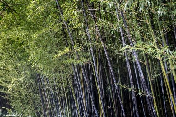 Bambús. Jadín Botánico. Málaga