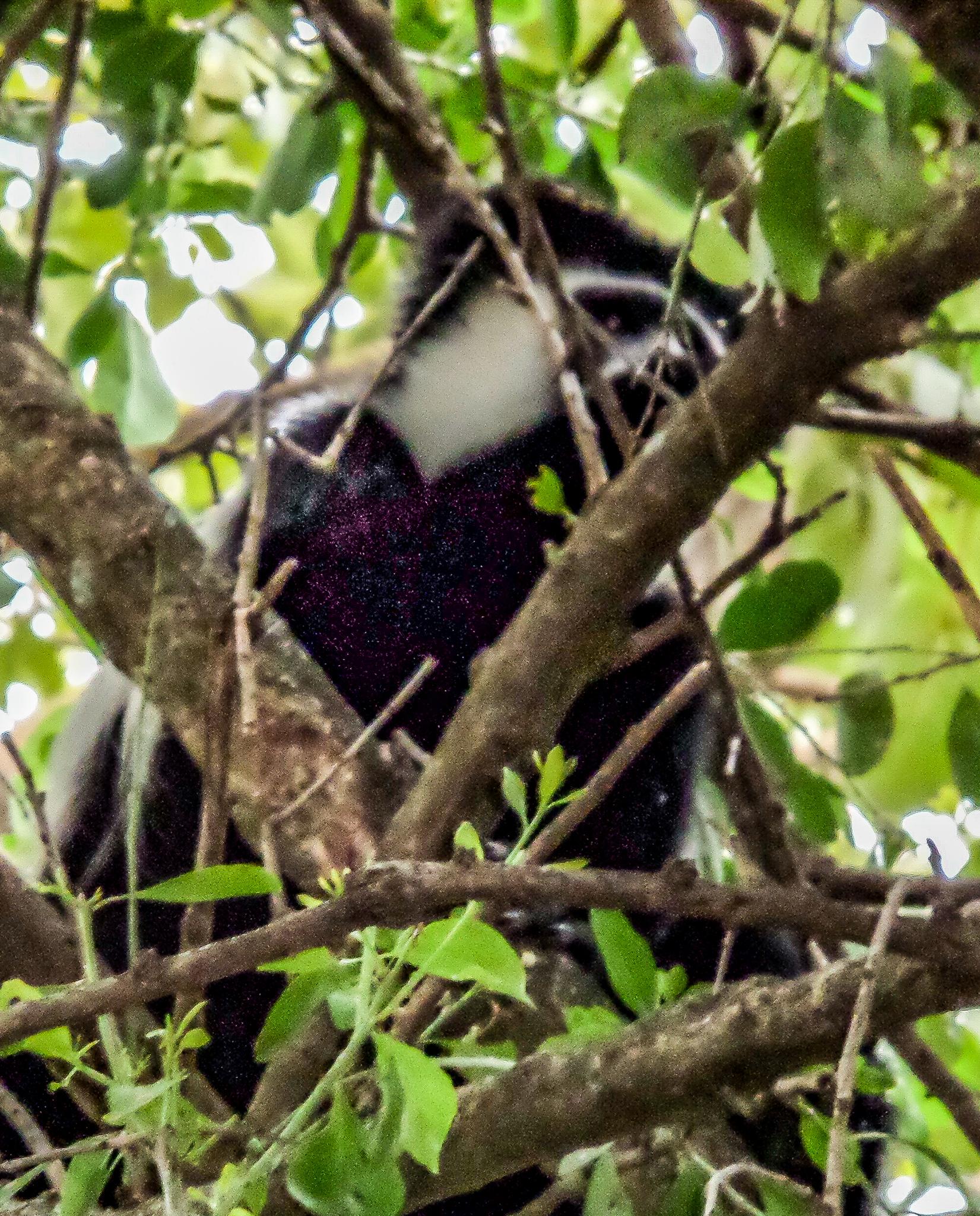 Colobus monkey in Ethiopia