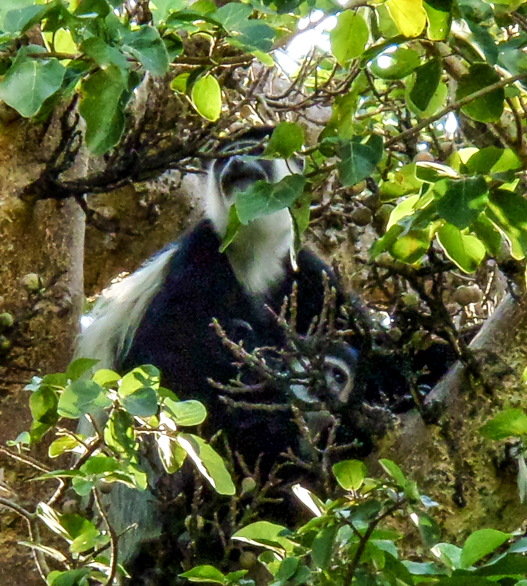 Colobus monkey with child in treetop