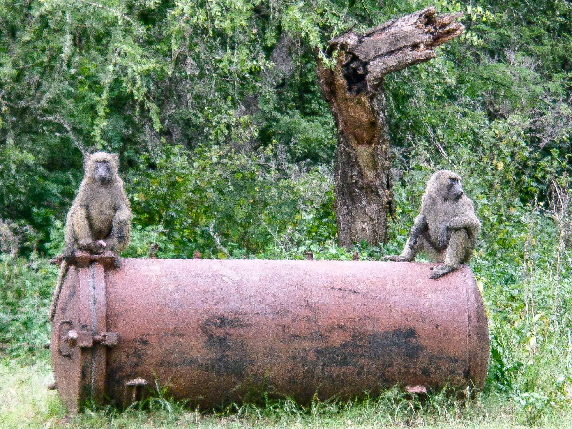 Oliva Baboons in Lake Langano Ethiopia