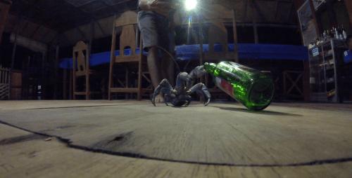 J+311 Crabe noix de coco (1jour-1espèce)