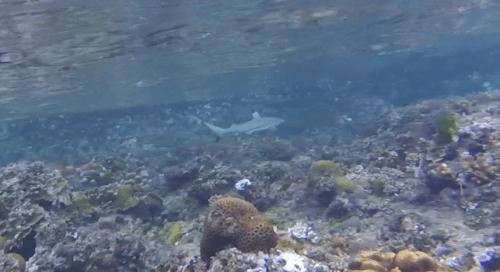 J+313 Bébés requins à pointes noires (1jour-1espèce)