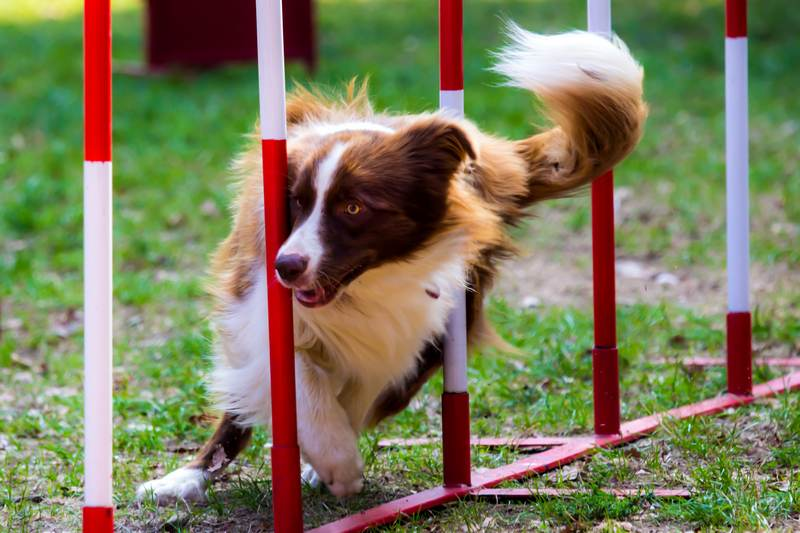 Agility dog with a red border collie