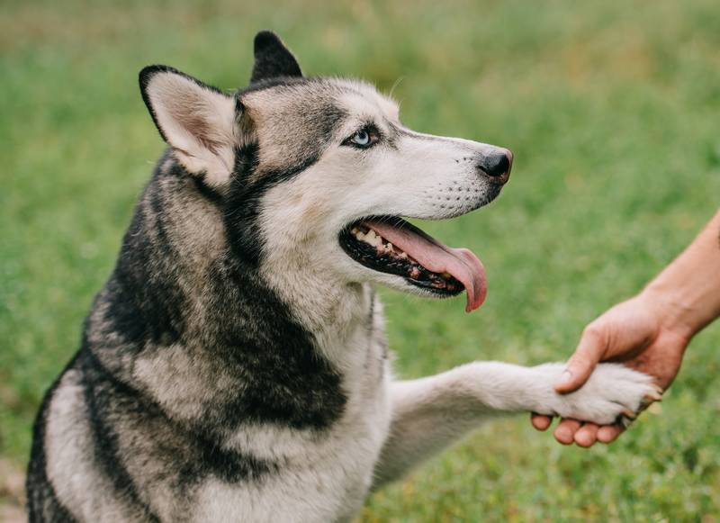 Dog shaking its paw with a dog trainer - fostering the concept of dog-friendly and humane training techniques across Canada.