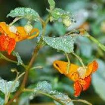 jewelweed-0919.jpg