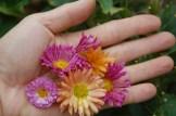 Last Chrysanthemums in November