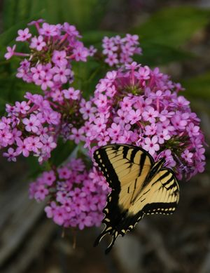 Phlox 'Jeanna' & Yellow swallowtail in July