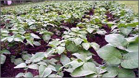 Campo de batatas antes da rega