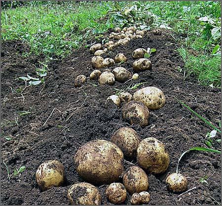 Batatas saídas da terra