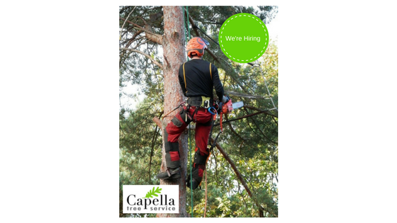 Image of an arborist in a tree