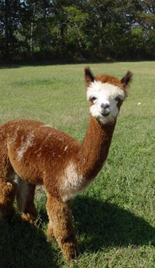 alpacas-ewok