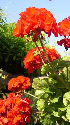 garden-geraniums