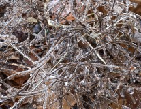 ice tangle of stems
