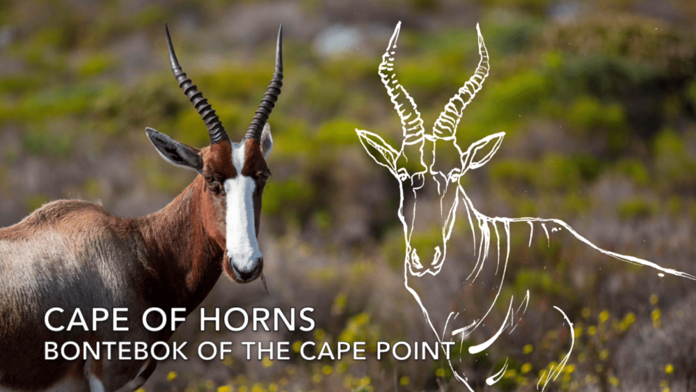 Cape_Point_E04 Cape of Horns - Bontebok of Cape Point