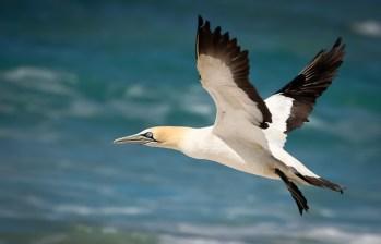 Gannet Flying