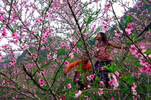 Hoa đào rừng đua thắm trên rẻo cao Mù Cang Chải - Du Lịch & Ẩm Thực