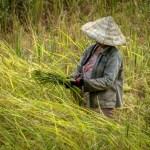 Mai con về gặt lúa không