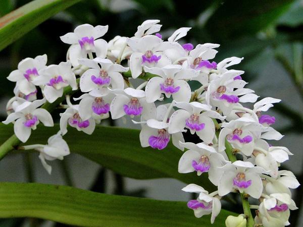 Các loại Hoa Lan đẹp nhất Việt Nam và hình ảnh hoa đẹp