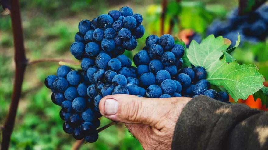 Wine Grapes in Vineyard