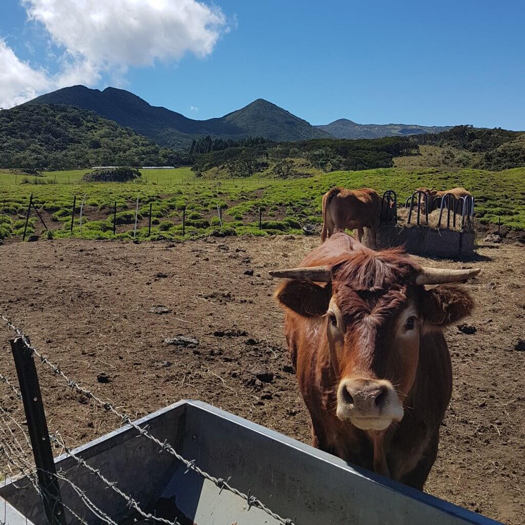 Vache la plaine des cafres