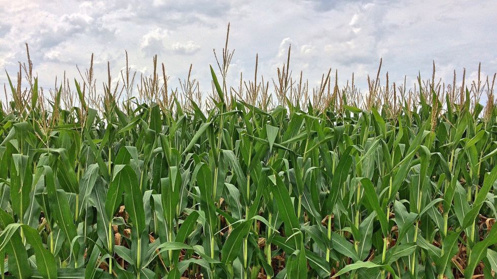 Sacrificing Freedom for Ethanol Corn Subsidies