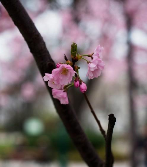 Kirschblüte | lacapocuoca.at