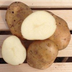 Patate Kennebec (pasta bianca)1,5€/kg