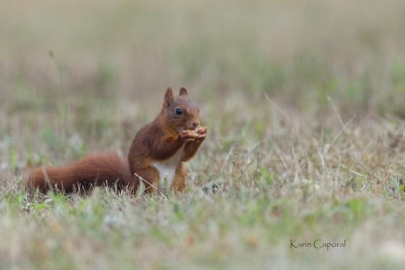 L'écureuil grignote un gland