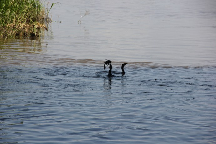 Cormorants eating invasive armored catfish out of a wastewater stream.