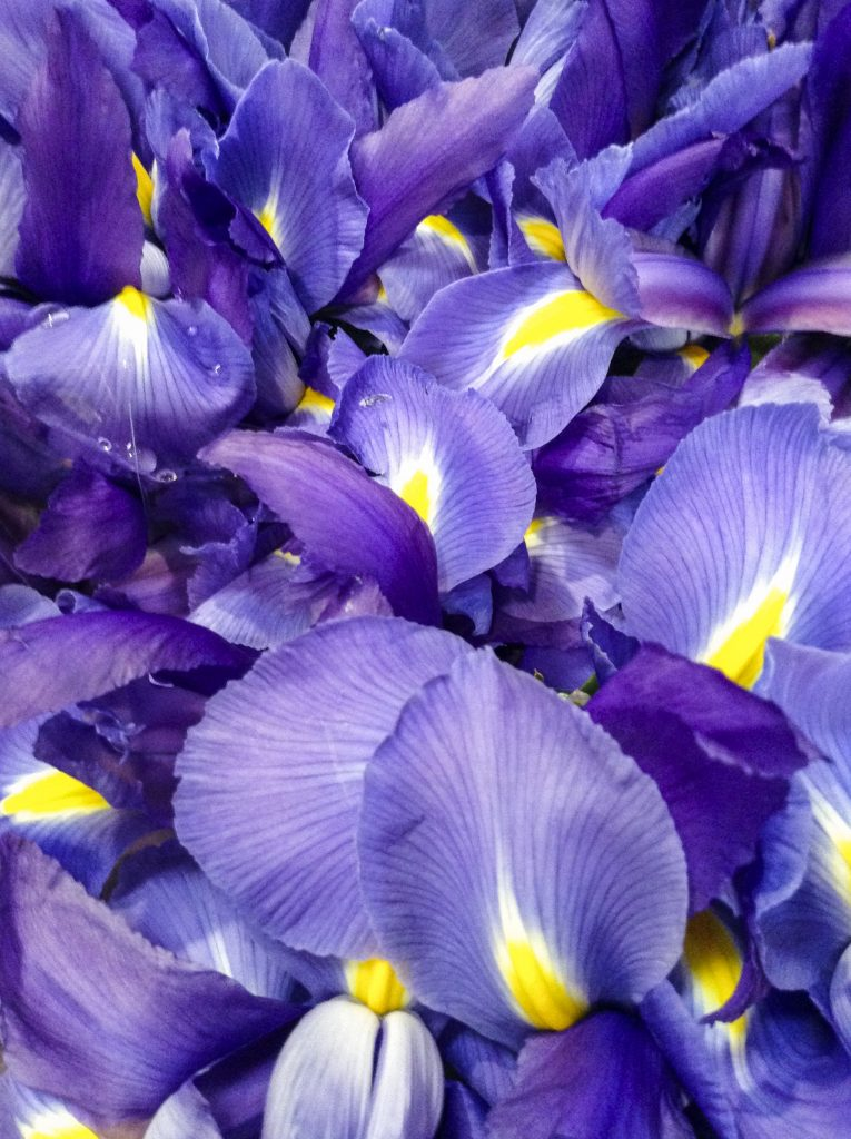 This image has an empty alt attribute; its file name is iris-765x1024.jpg