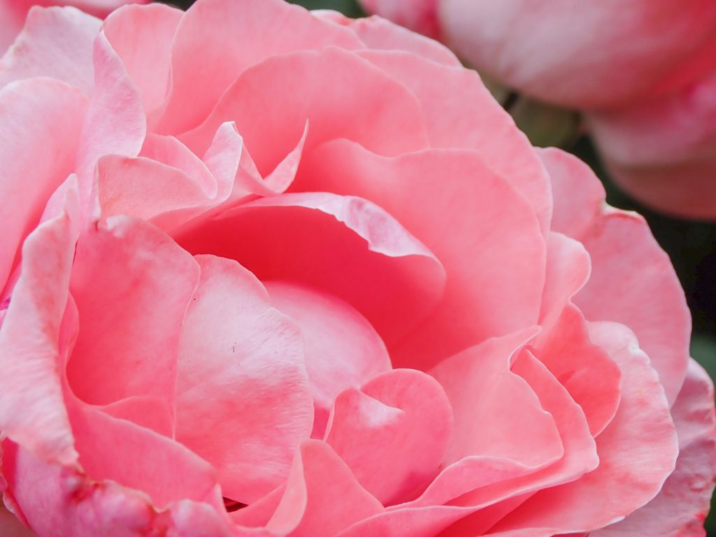 This image has an empty alt attribute; its file name is roses-2-copy-1024x768.jpg