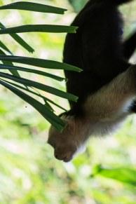 capuchin_1_13