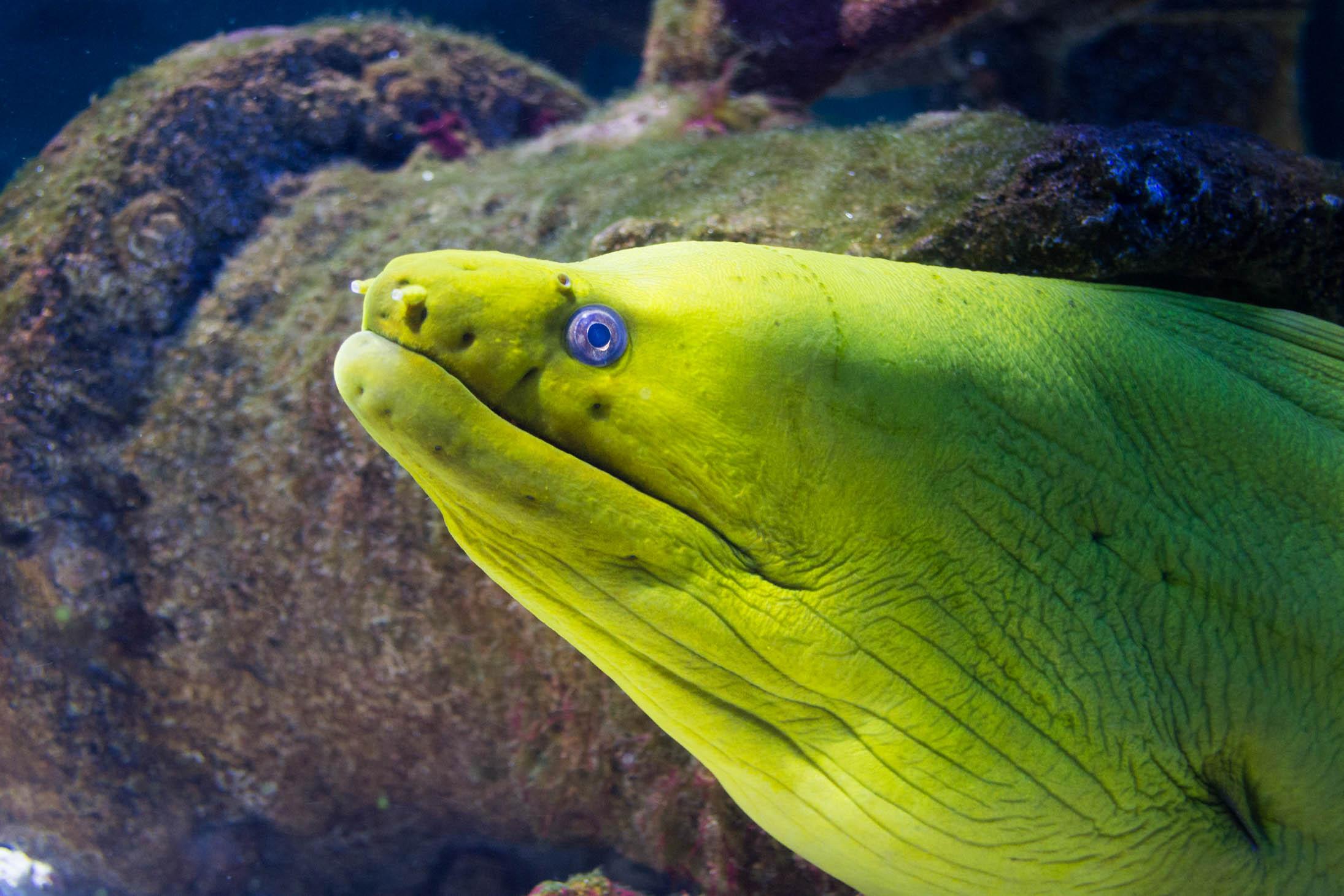 Une murène verte des Caraïbes