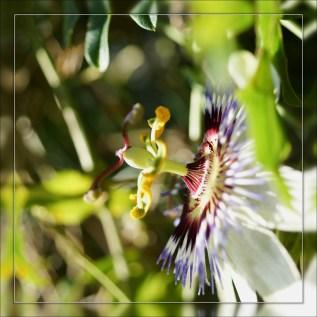 Fleur de la passion (1)