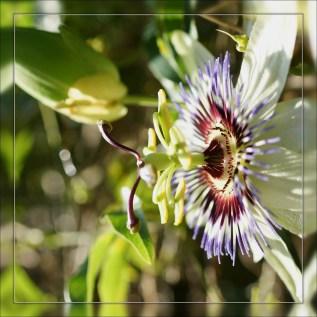 Fleur de la passion (3)