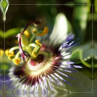 Fleur de la passion (4)