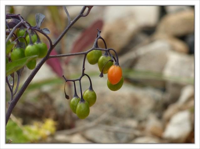 Attention:plante vénéneuse
