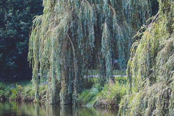 Willows are a concern on an overgrown, wind-swept island.