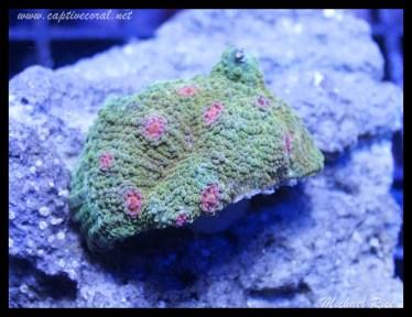 chalice_coral_DSC0508