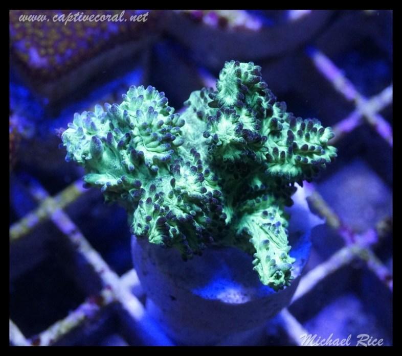 hydnophora_DSC0486