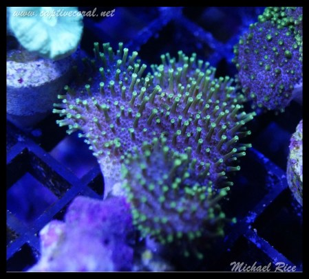 leather_coral_DSC0367