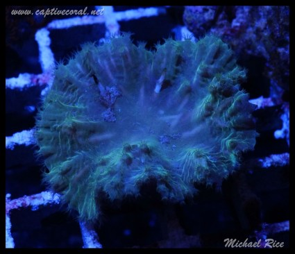 leather_coral_DSC0982