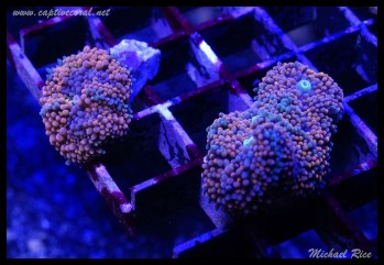 mushroom_coral_DSC0990